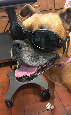 Dog with doggles on